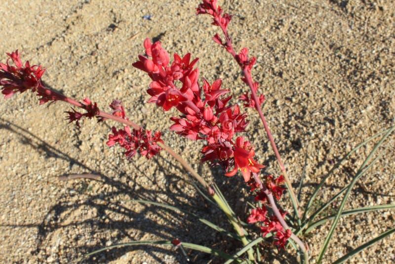 三个深猩红色红色丝兰花茎在阳光下 库存照片