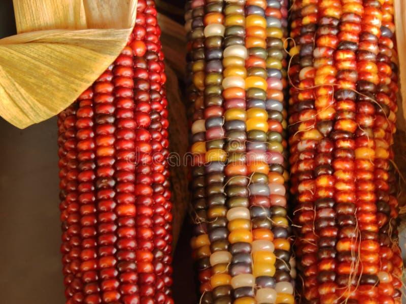 三个玉米 免版税库存照片