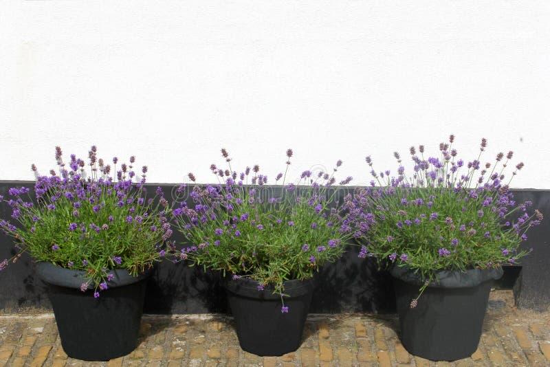 三个罐开花的淡紫色Hidcote白色墙壁,荷兰 库存照片
