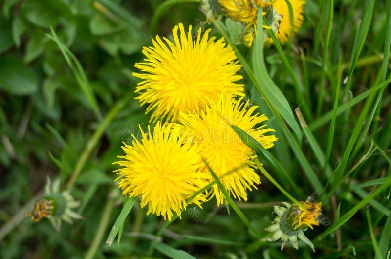 三个黄色开花的蒲公英在草甸,从上面被拍摄 库存图片