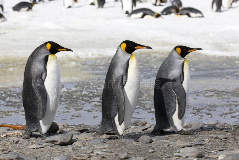 三企鹅国王在南乔治亚的索尔兹伯里平原连续走 库存照片