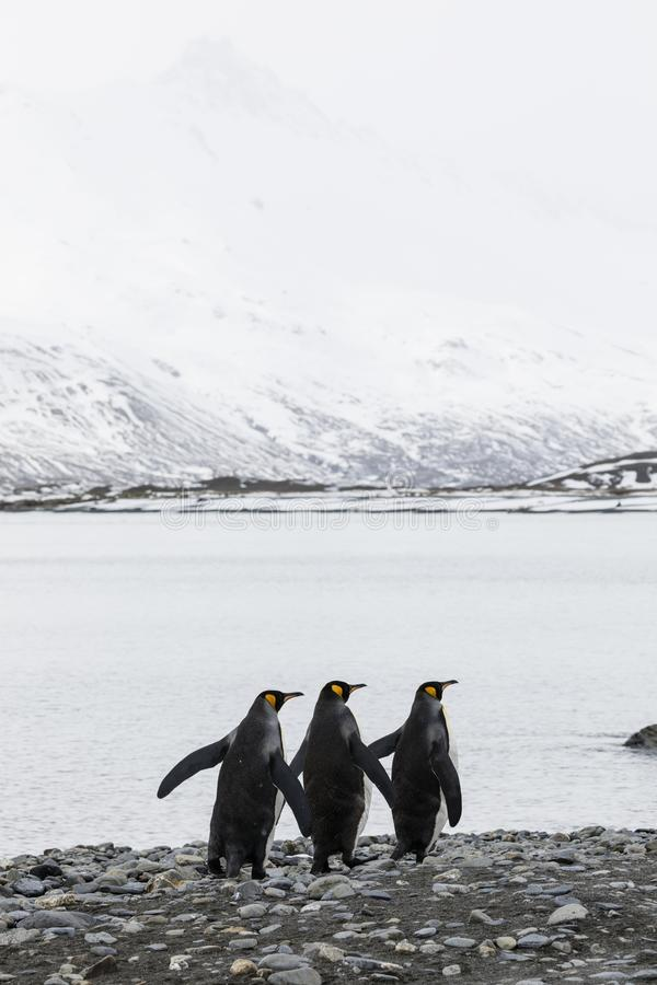 三企鹅国王连续跑在福尔图纳海湾的,南乔治亚,南极洲Pebble海滩 图库摄影