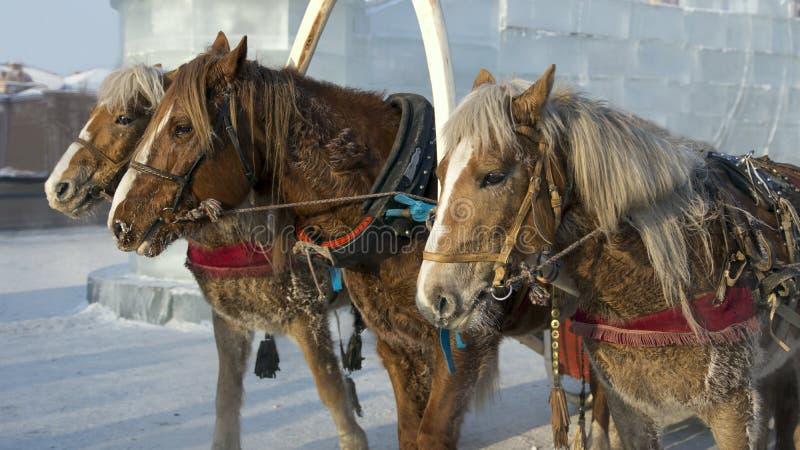三匹马在冬天 免版税库存照片