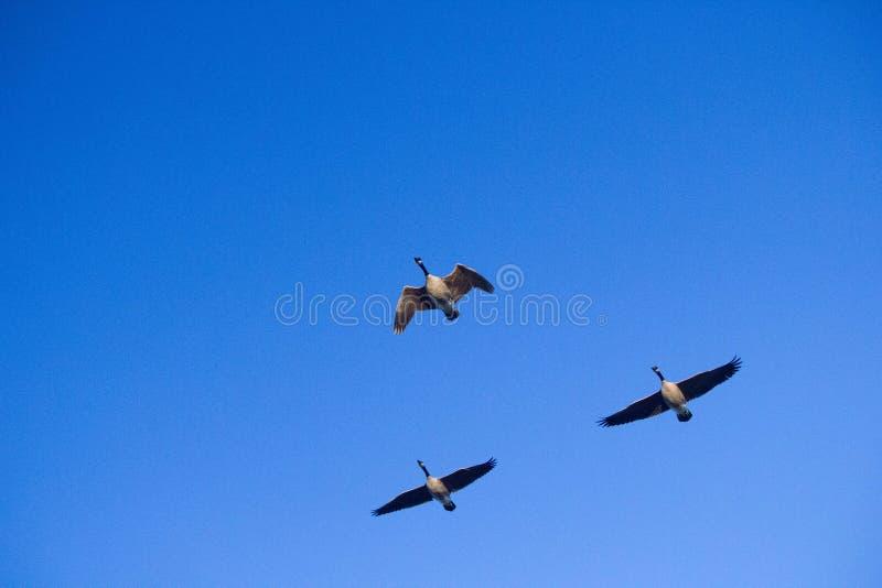 三只加拿大发出雁号声的人或物鹅 图库摄影