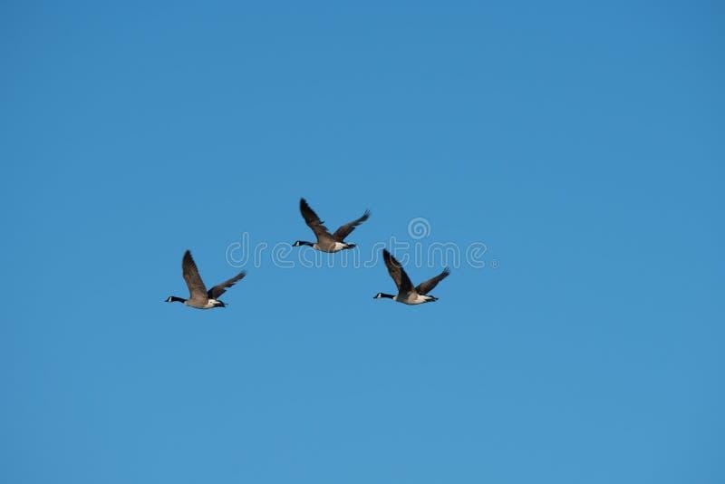 三只加拿大鹅飞行 免版税库存照片