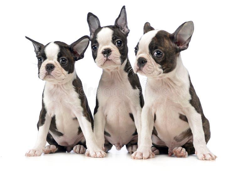 三只小狗波士顿狗在白色照片演播室 库存图片