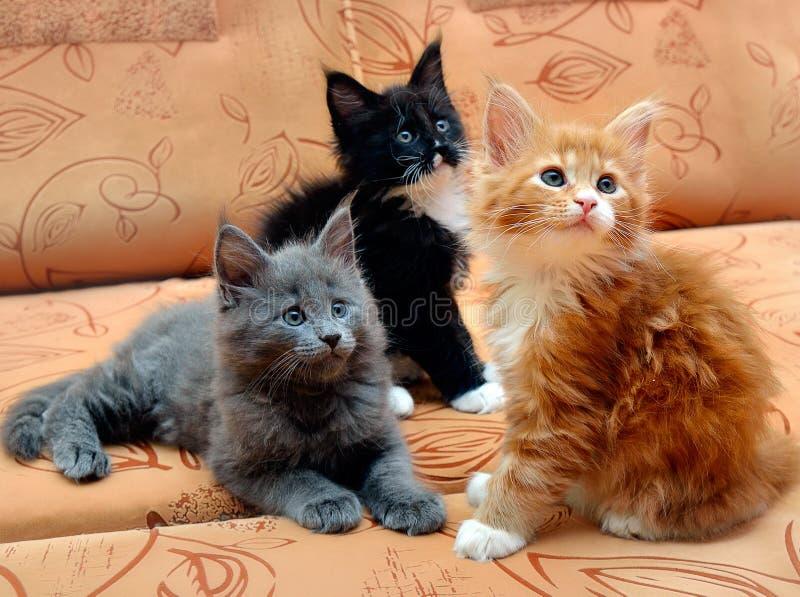 三只小猫缅因浣熊坐长沙发 免版税库存图片