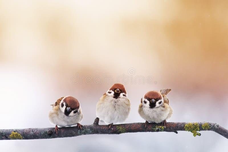 三只小的胖的滑稽的幼鸟麻雀坐分支 免版税库存图片