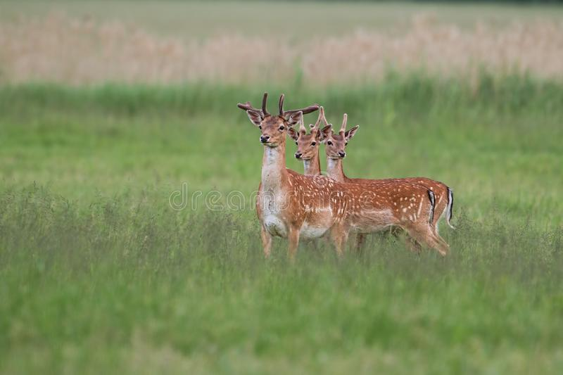 三只小鹿雄鹿在与在天鹅绒盖的增长的鹿角的夏天 免版税库存图片