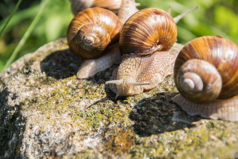 三只棕色葡萄蜗牛坐灰色石头在夏天 库存照片