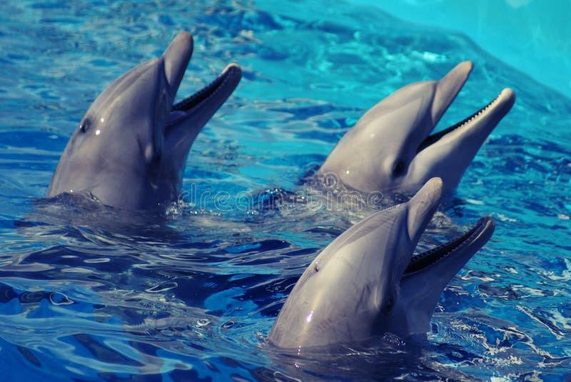 三只海豚在水中 免版税库存图片