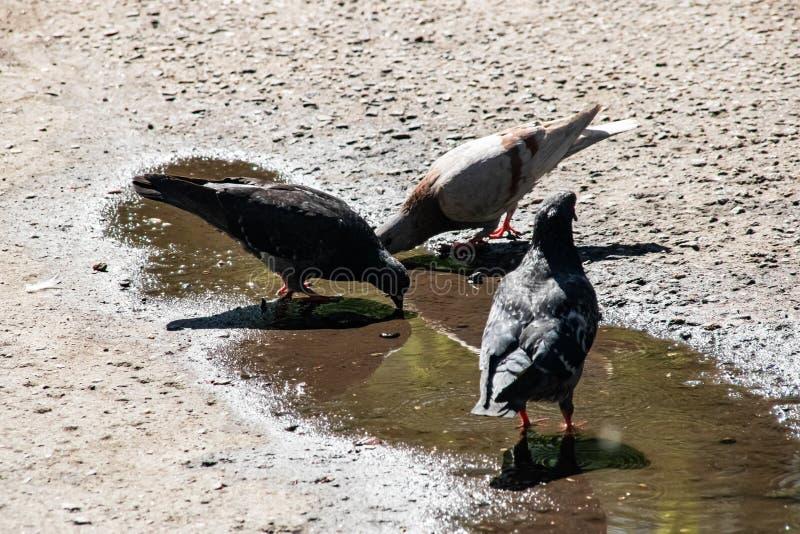 三只灰色鸽子喝在一个水坑的水在边路 免版税库存照片