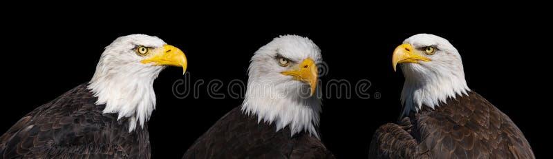 三只白头鹰画象  库存图片