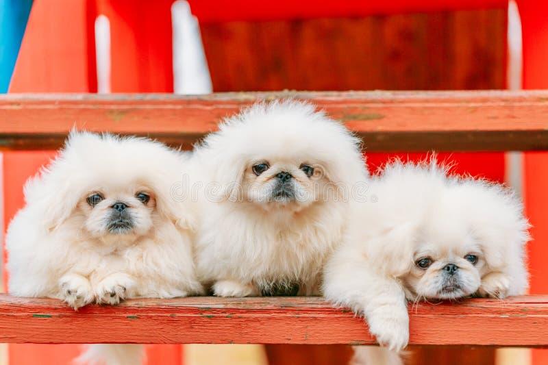 三只白色小狗Pekingese小狮子狗Peke幼兽小狗 免版税库存图片