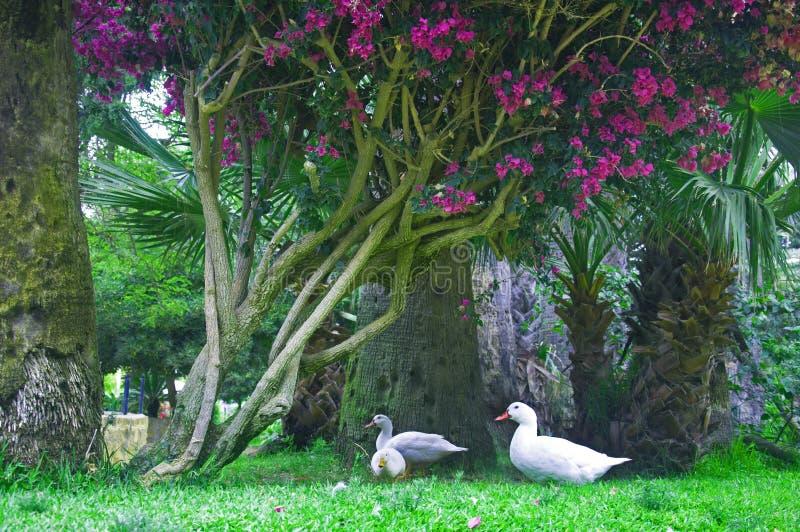 三只白色鸭子在与紫色花的树下 免版税库存图片