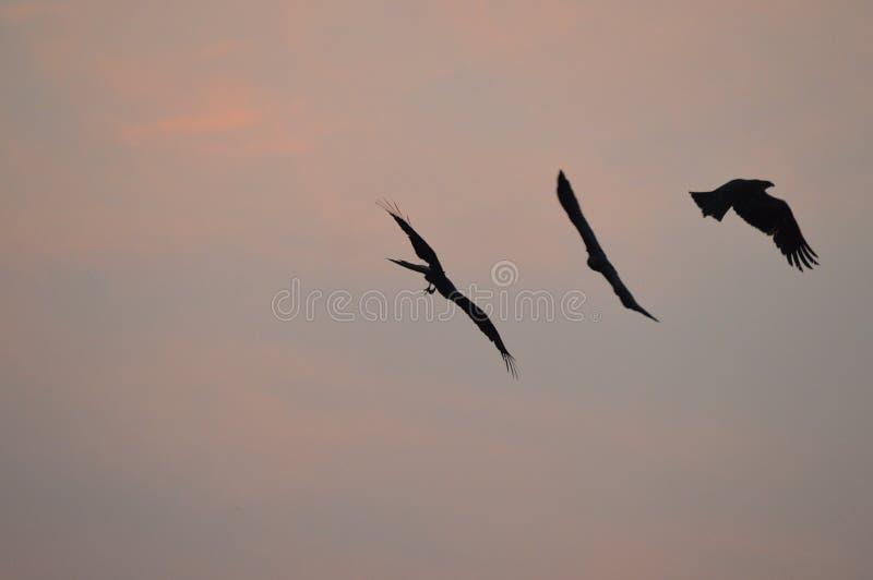 三只老鹰鸟 图库摄影