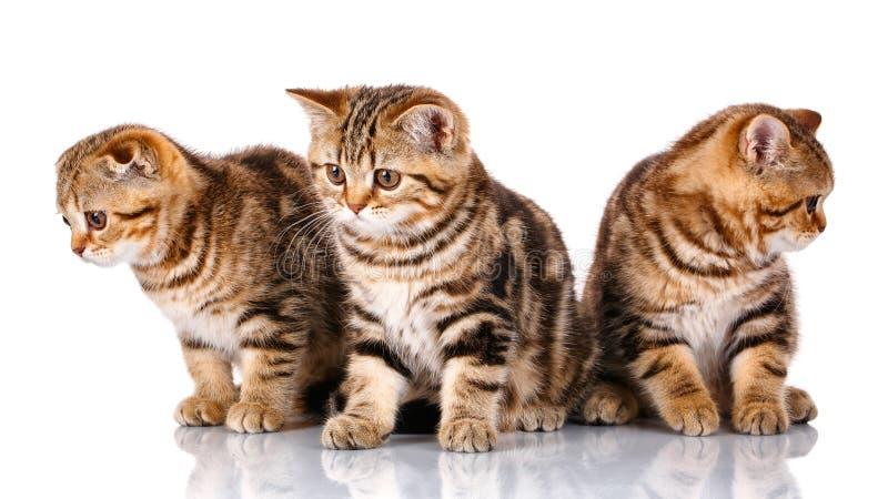 三只苏格兰小猫,被隔绝坐白色 库存照片