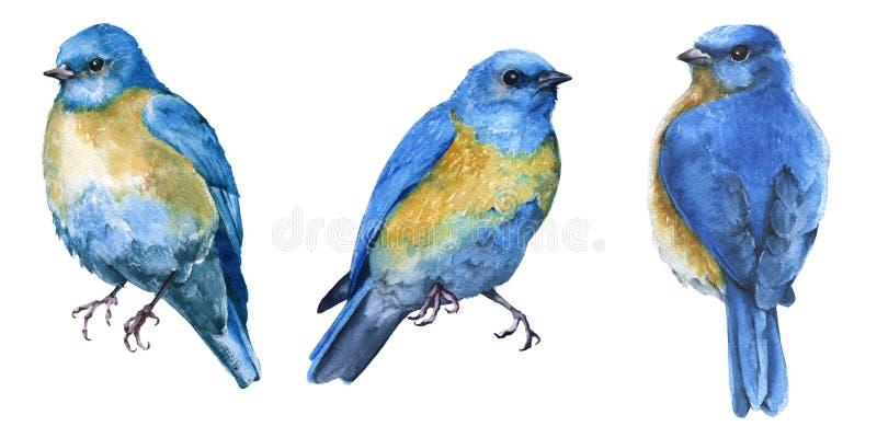 三只蓝色鸟 背景查出的白色 库存例证