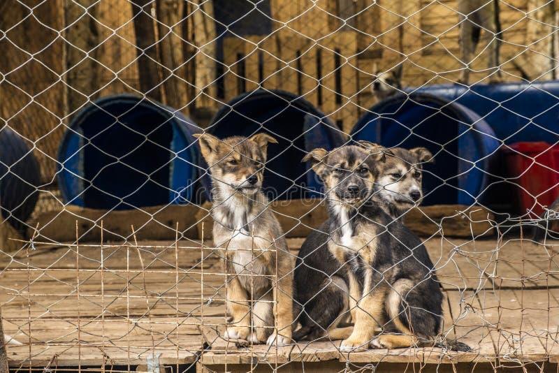 三只西伯利亚牧羊人小狗在一个写作的狗农场 库存照片