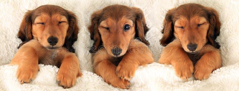 三只达克斯猎犬小狗 免版税库存图片