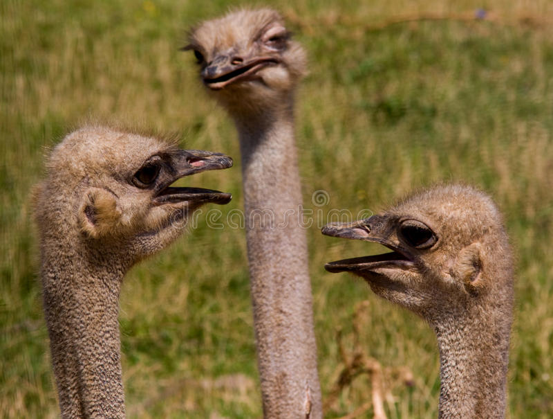 三只驼鸟 免版税库存图片