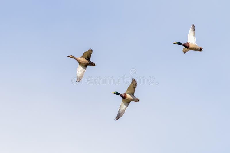 三只鸭子在飞行中反对蓝天 库存图片