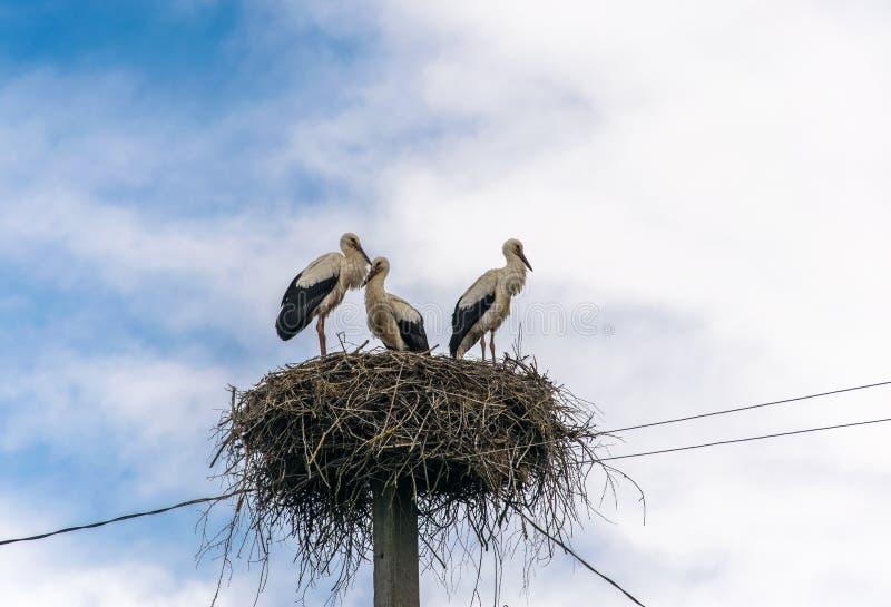 三只鹳在巢站立 库存图片