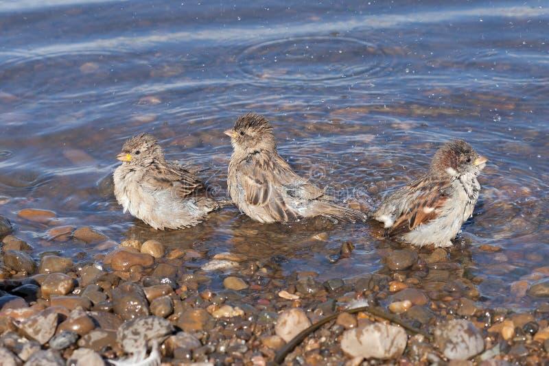 三只麻雀在河沐浴 免版税图库摄影