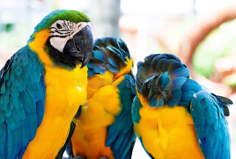 三只黄色蓝色鹦鹉 库存照片