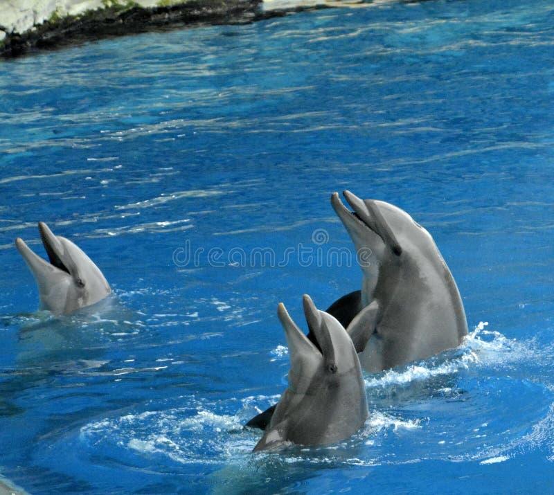 三只laughin海豚 免版税库存图片