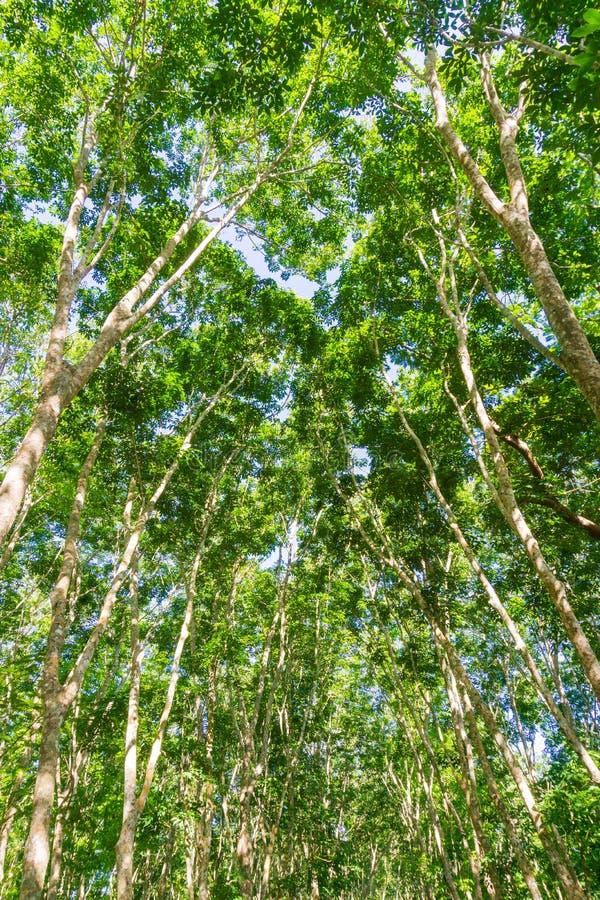 三叶橡胶树种植园 免版税图库摄影