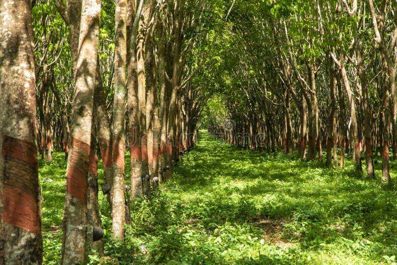 三叶橡胶树行在泰国南部的 免版税库存照片