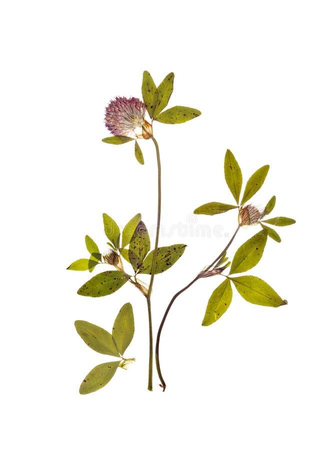 三叶草一根干小树枝与花的干燥标本集的 图库摄影