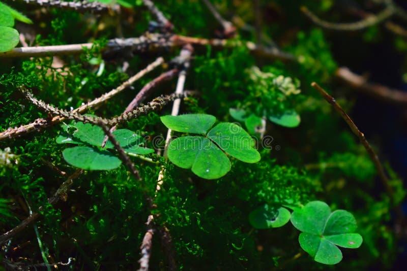 三叶草在森林里 库存图片