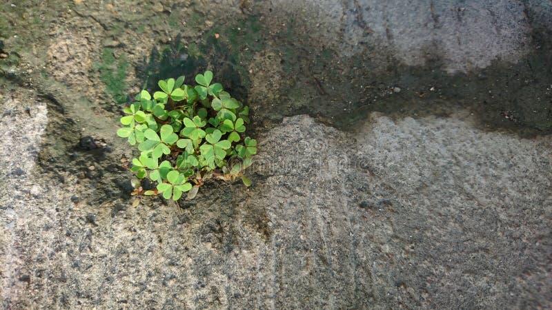 三叶草在混凝土长大 免版税图库摄影