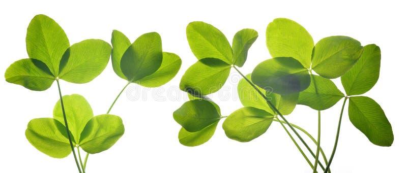 三叶草新鲜的绿色叶子  图库摄影