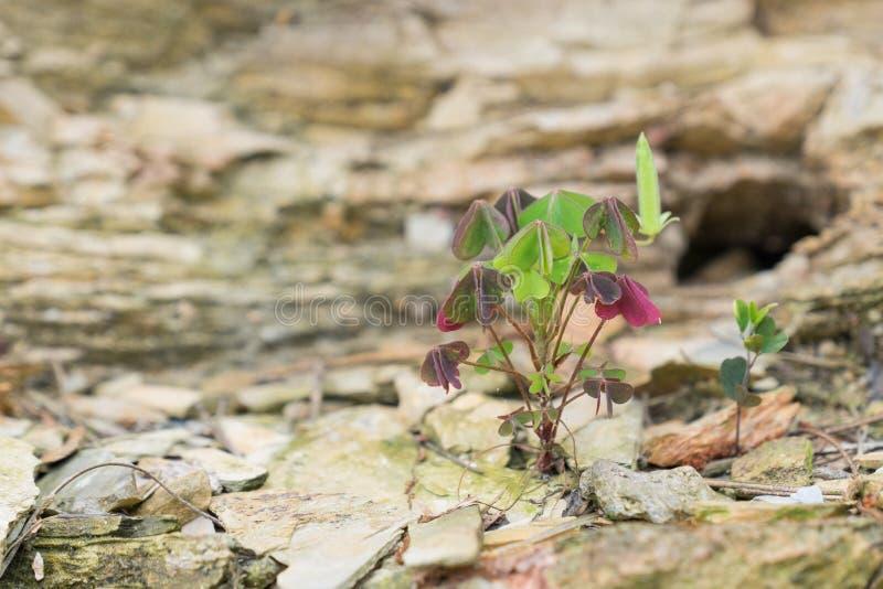 三叶草生长在岩石的丛 库存照片