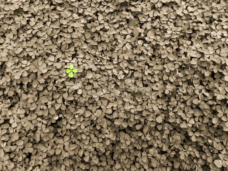 Download 三叶草背景在庭院里 库存照片. 图片 包括有 绿色, beautifuler, 环境, 时运, 颜色, 浩瀚 - 62530170