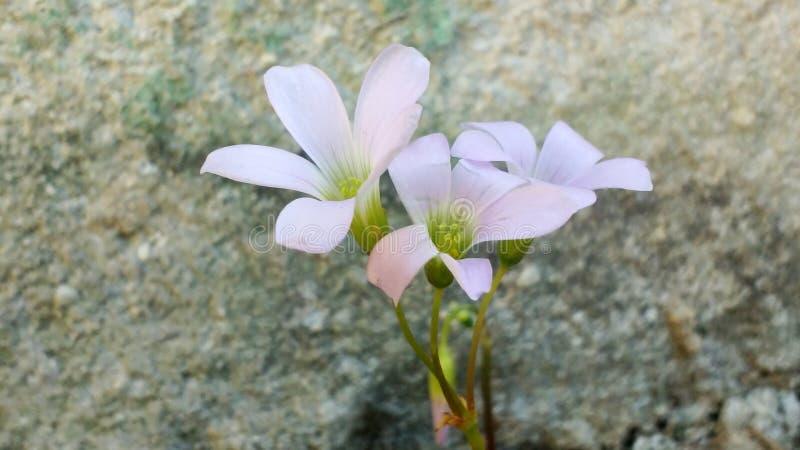 三叶草花紫色 库存照片