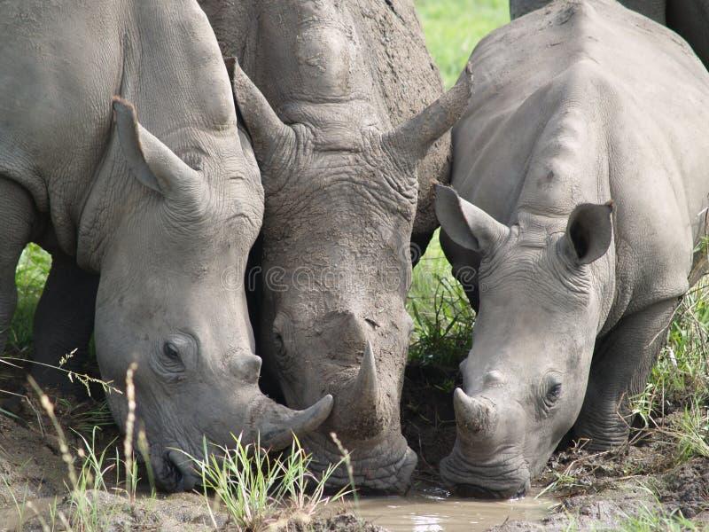 三喝从水坑的犀牛 免版税图库摄影