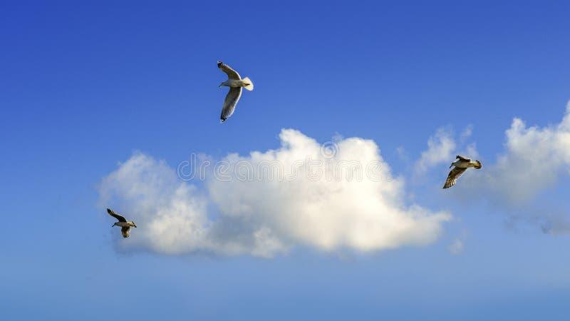 三在前面天空蔚蓝的海鸥 免版税图库摄影