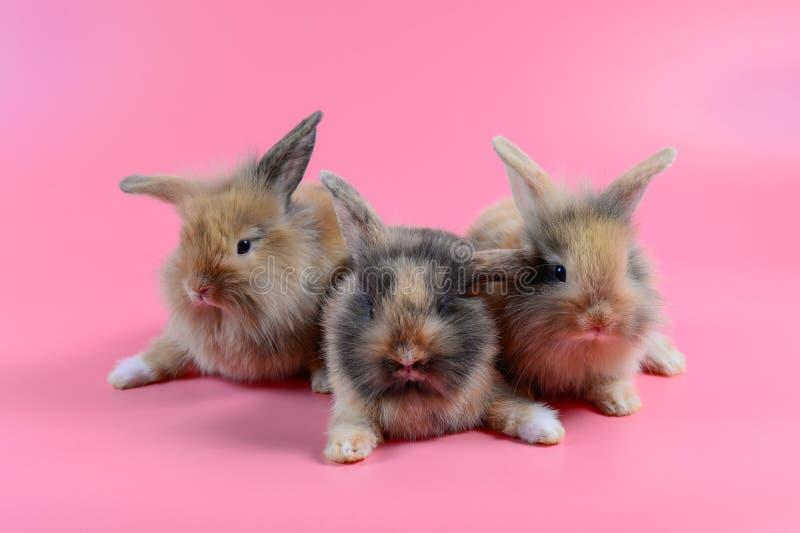 三在干净的桃红色背景的蓬松棕色兔宝宝 库存图片