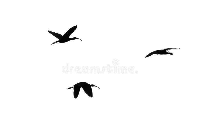 三在白色背景现出轮廓的面无血色的朱鹭 免版税库存照片