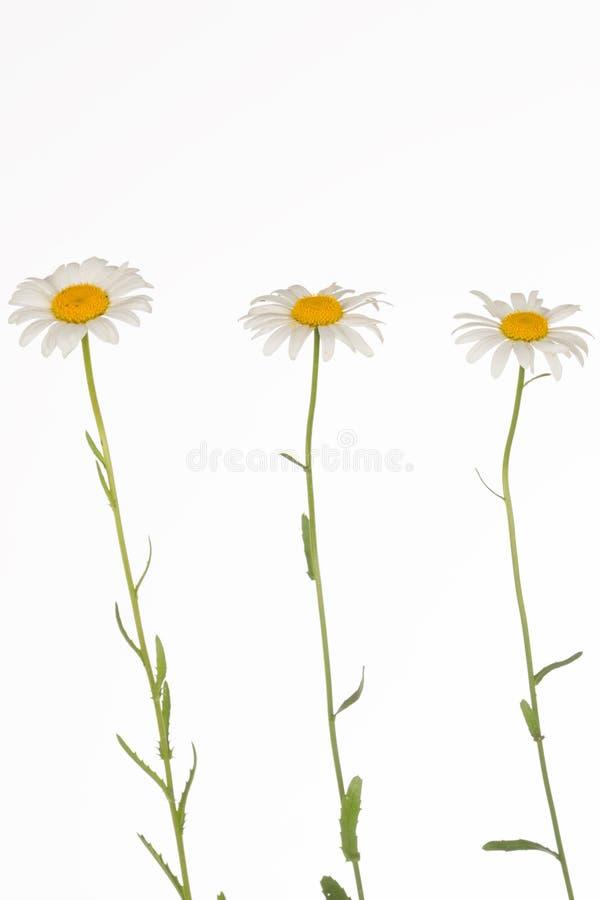三在稀薄的词根的易碎的春黄菊 库存照片