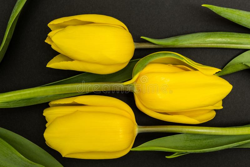 三在黑背景的大黄色郁金香芽 免版税图库摄影