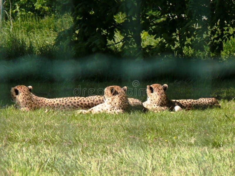 三头猎豹休息 免版税库存照片