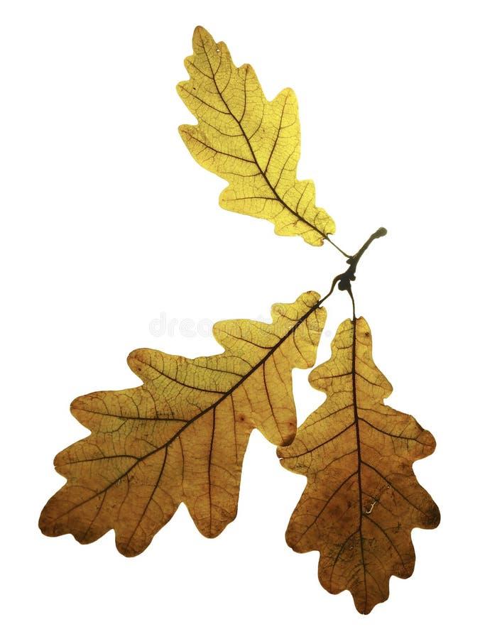 三干燥秋天橡木在白色背景离开被隔绝 库存照片