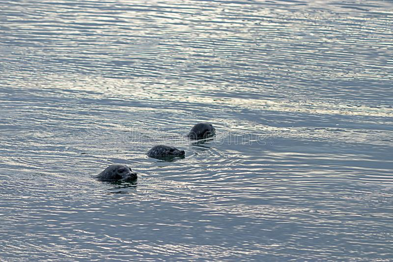 三年轻封印在普吉特海湾中水域  免版税库存图片
