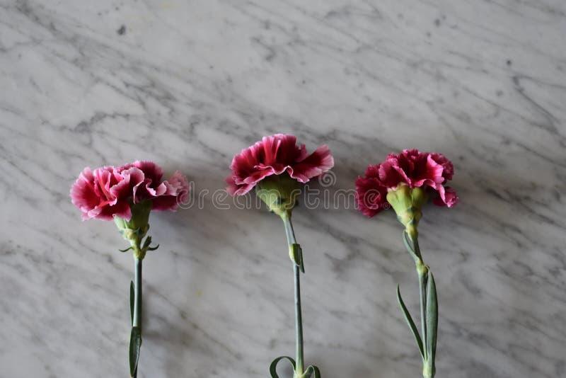 三支剧烈的桃红色康乃馨 免版税图库摄影