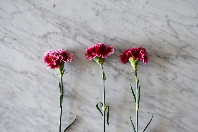 三支剧烈的桃红色康乃馨 免版税库存照片